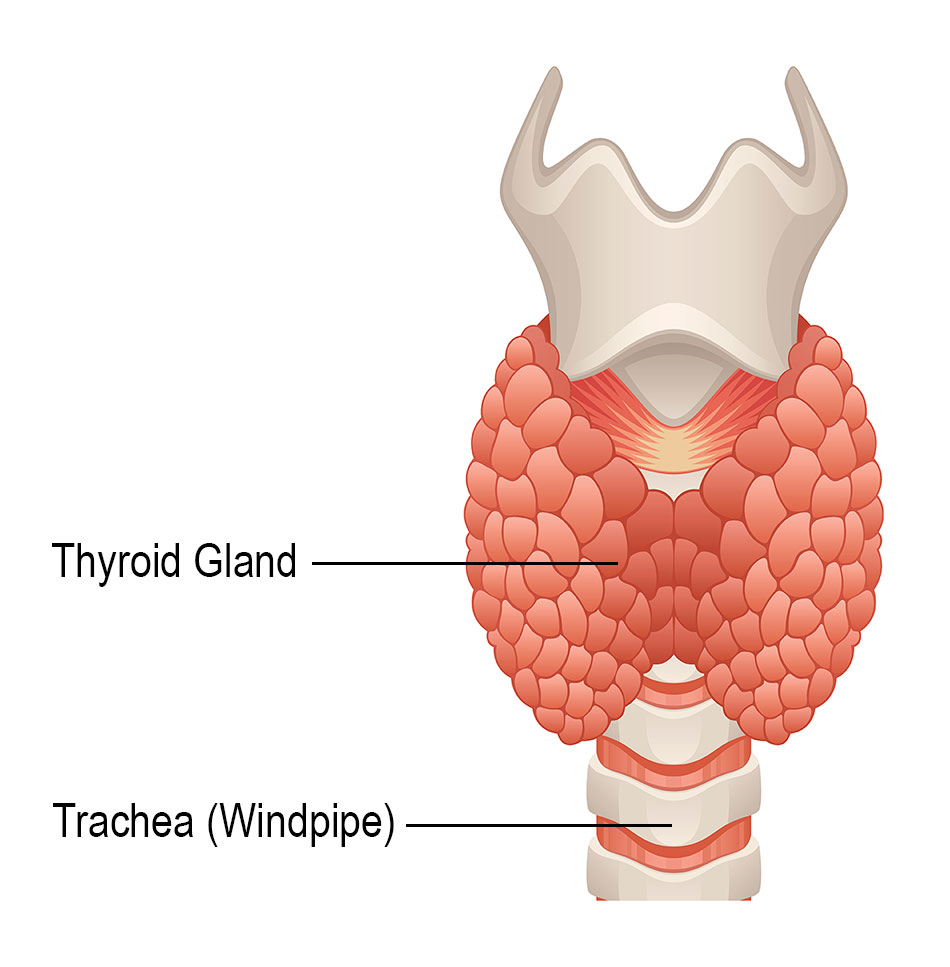 hight resolution of thyroid gland diagram