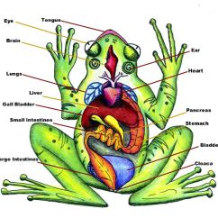 Frog Head Diagram Labeled Club Car Golf Cart Parts Of Anatomy Huge Color Image