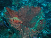 Ranisapo de Commerson (Antennarius commerson) - dos ranisapos sobre una esponja larga