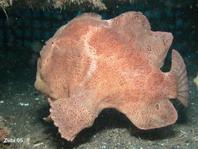 Ranisapo de Commerson Antennarius commerson galopando