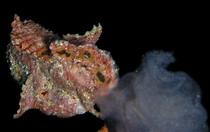 Antennarius multiocellatus - el macho (naranja) esta siguiendo a la hembra dilatada