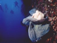 Ranisapo de Commerson (Antennarius commerson) - sobre una esponja en la pared del arrecife