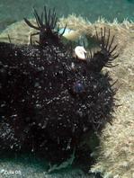 Pez rana rayado (Antennarius striatus)- los apéndices de piel aparecen a un erizo de mar