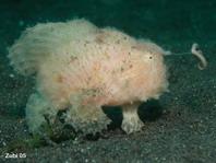 Antennarius striatus - pez rana rayado