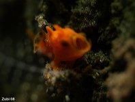 Minúsculo Bebé Ranisapo (probablemente Antennarius pictus) bostezando