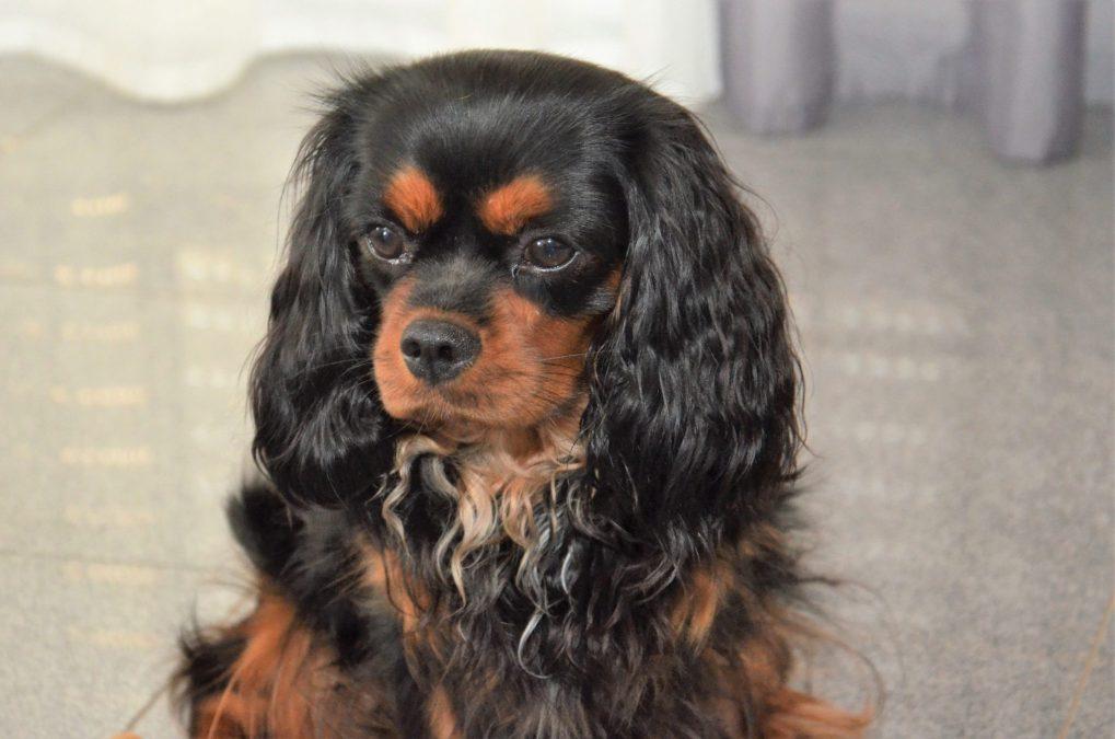 einer unserer wunderschönen hunde aus unserer Cavalier Zucht