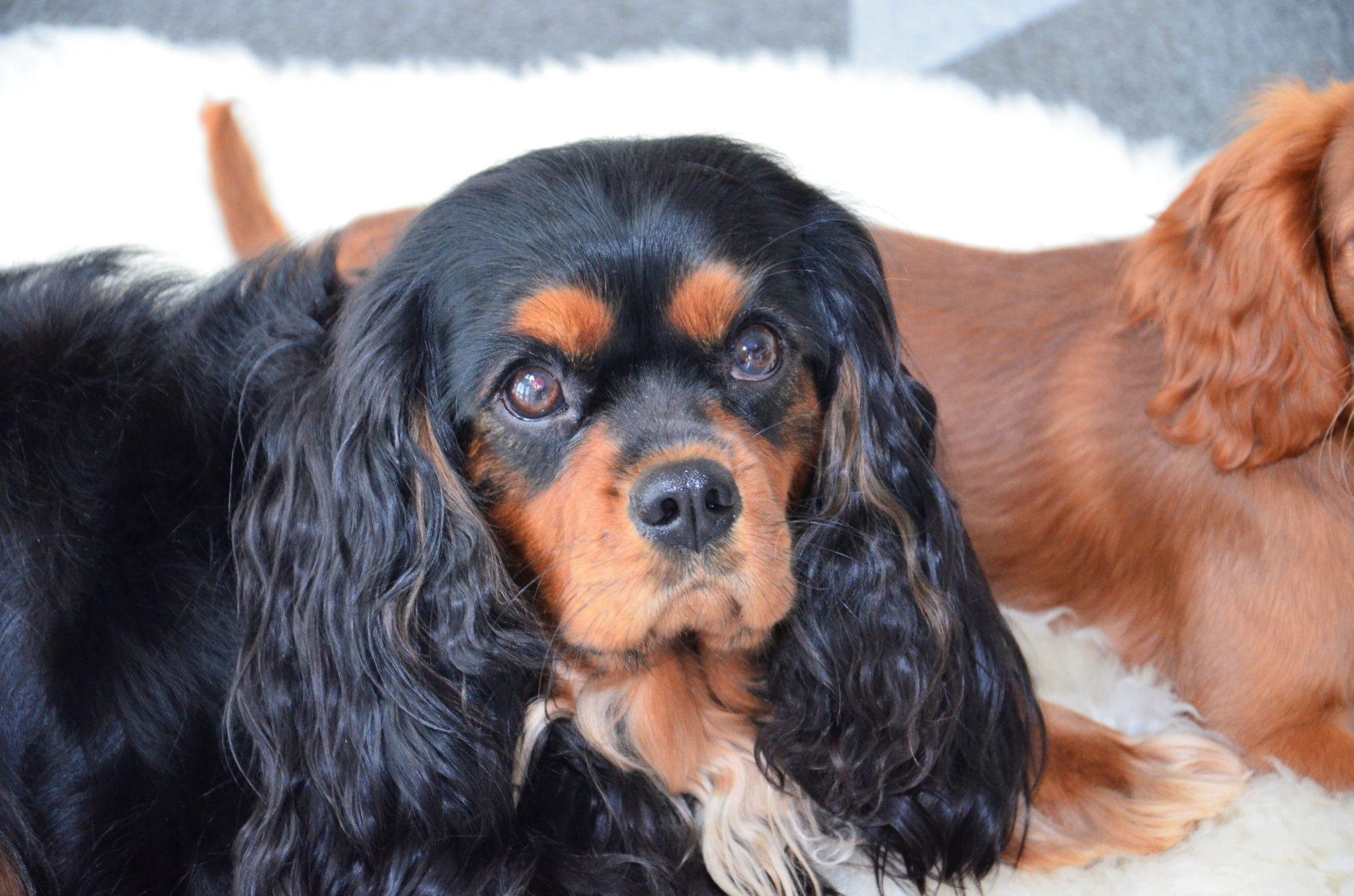 einer unserer wunderschönen Hunden aus unserer Cavalier Zucht