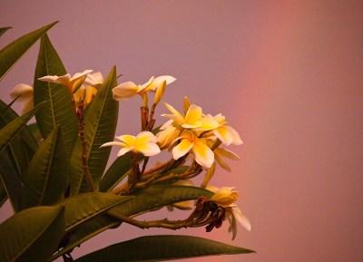 Plumeria Sunset