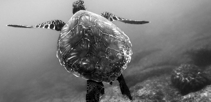 Snorkeling at Kahaluu photographing turtles underwater