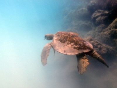 Old Turtle in Kiholo Bay