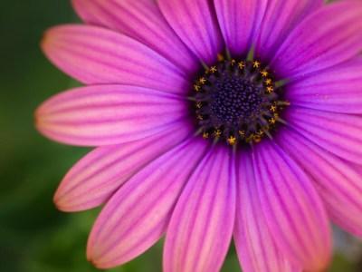 Pink Garden Flower