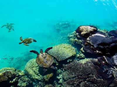 Three Honu