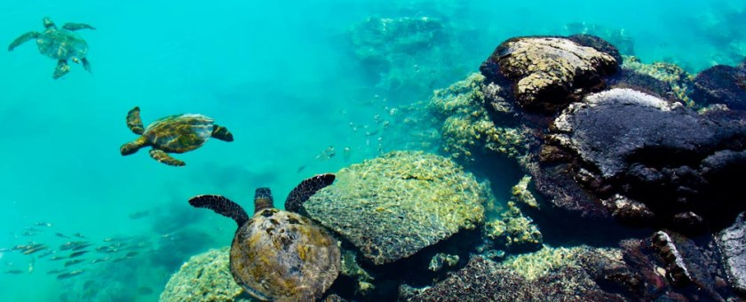 Three turtles swimming in the turquoise waters of Kiholo Bay