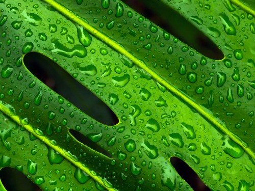 Macro of rain drops on a Monstera Leaf