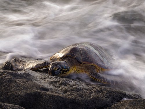 Green sea turtle resting on the lava rock shoreline of Anaehoomalu Bay