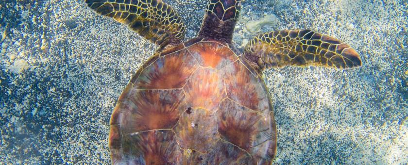 Green Sea Turtle swimming over the sandy beach shoreline of Mahaiula beach