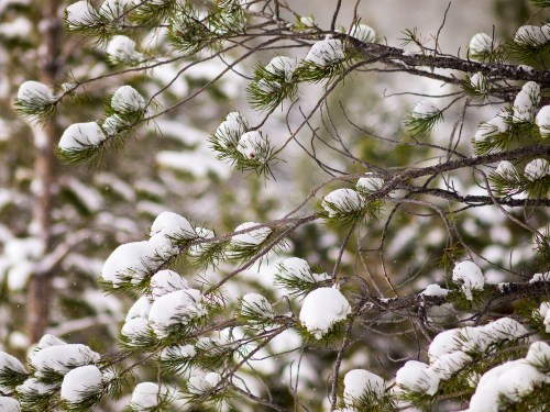 Small clumps of snow on the branches of a pine tree