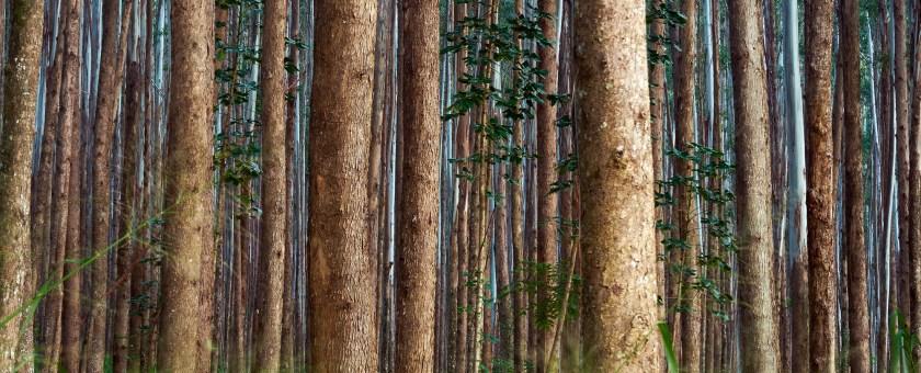 Dense forest of Eucalyptus trees