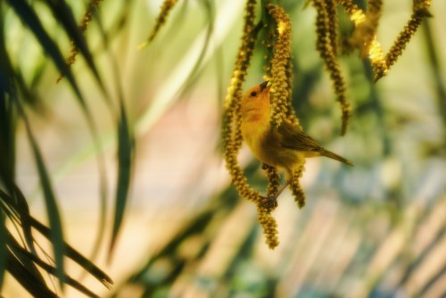 A yellow bird feeding on the palm tree seeds