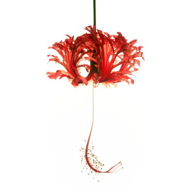 Photograph of a red Hibiscus Schizopetalus against a white backdrop