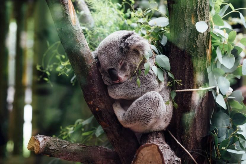 Koala (StockSnap.io)