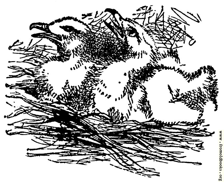Egrets in a Nest, from the book of Deuteronomy ch. 32 v. 11