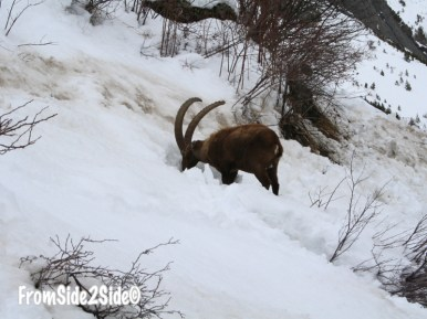 mouflon_3