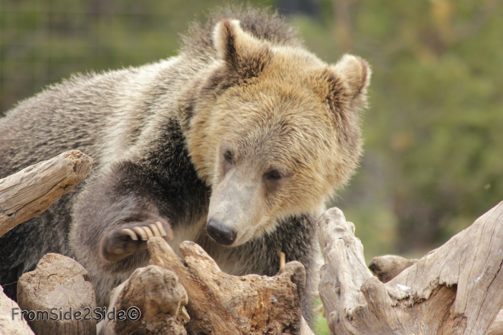 ours yellowstone 1