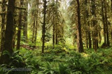 olympic-rainforest-13