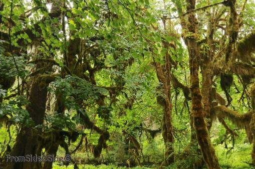 olympic-rainforest-23