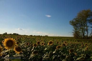 sunflowers 18