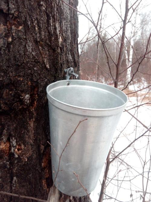 hanging buckets DIY Maple syrup