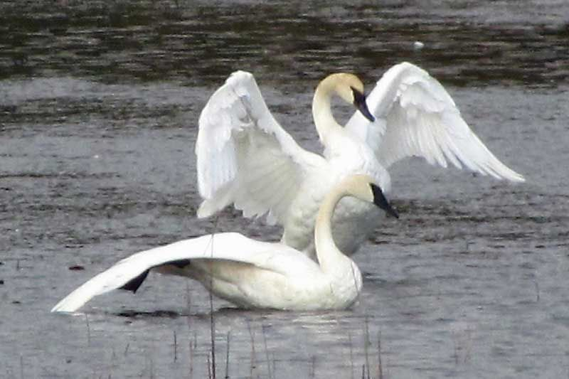 Frontenac News The Magnificent Swans