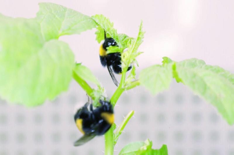 plantas abejorros