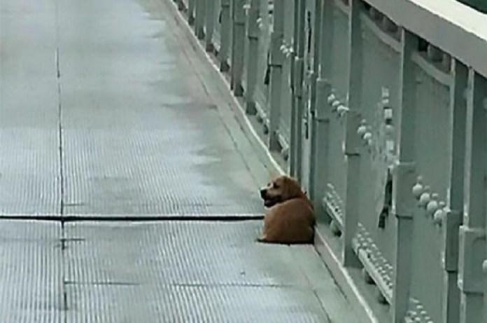 perro puente coronavirus