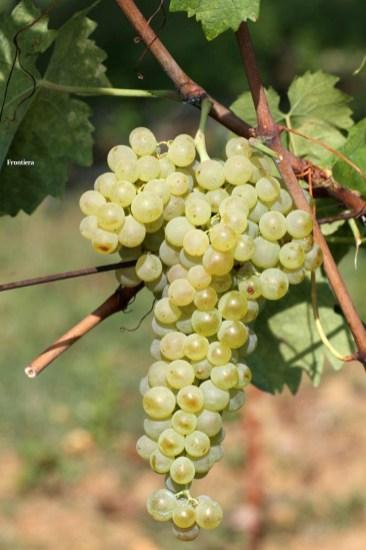 Vendemmia-2014-vigne-cantine-le-macchia-Castelfranco-Rieti-05