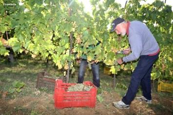 Vendemmia-2014-vigne-cantine-le-macchia-Castelfranco-Rieti-11