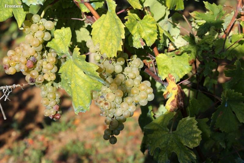 Vendemmia-2014-vigne-cantine-le-macchia-Castelfranco-Rieti-17