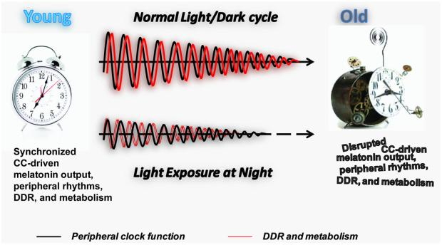 Image result for aging circadian rhythms