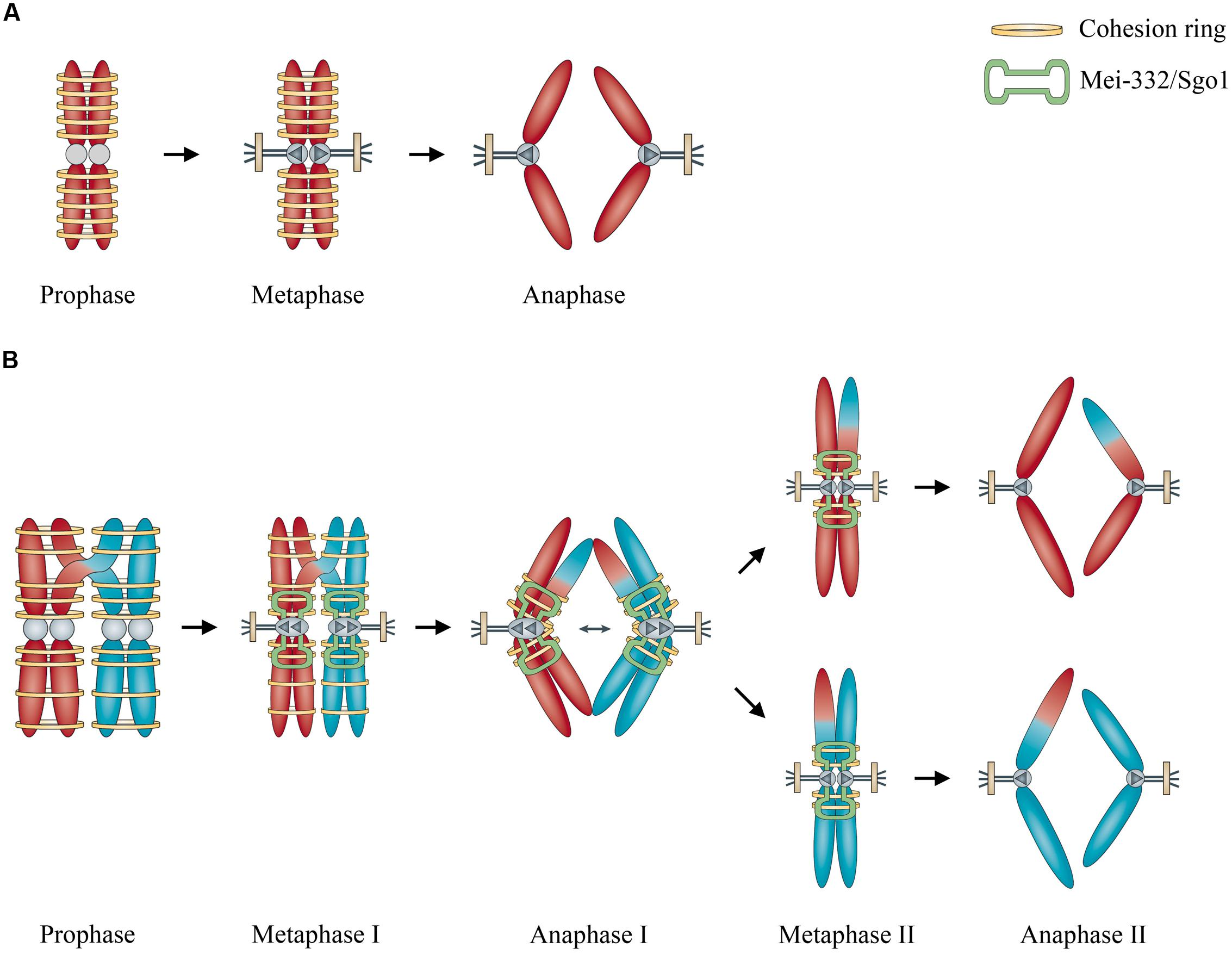 6 chromosomes crossing over diagram wiring typ 911 carrera modell 86 frontiers the concept of sexual reproduction cycle