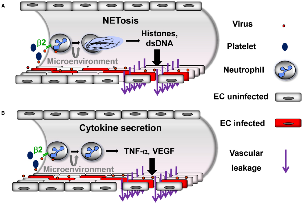 Frontiers | Hantavirus-induced disruption of the endothelial ...