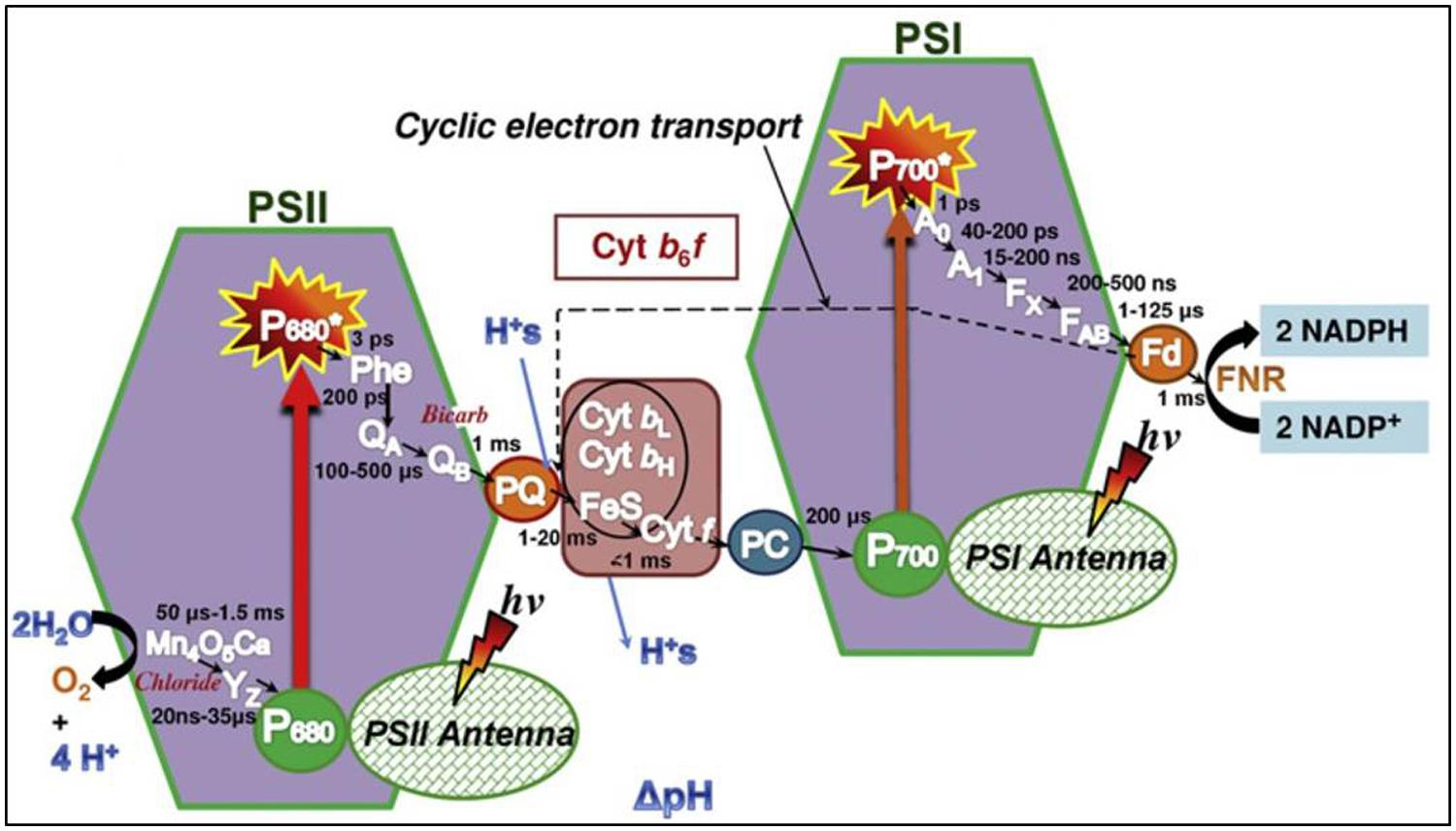 photosynthesis z scheme diagram triumph street triple r wiring frontiers recent developments in fast spectroscopy for