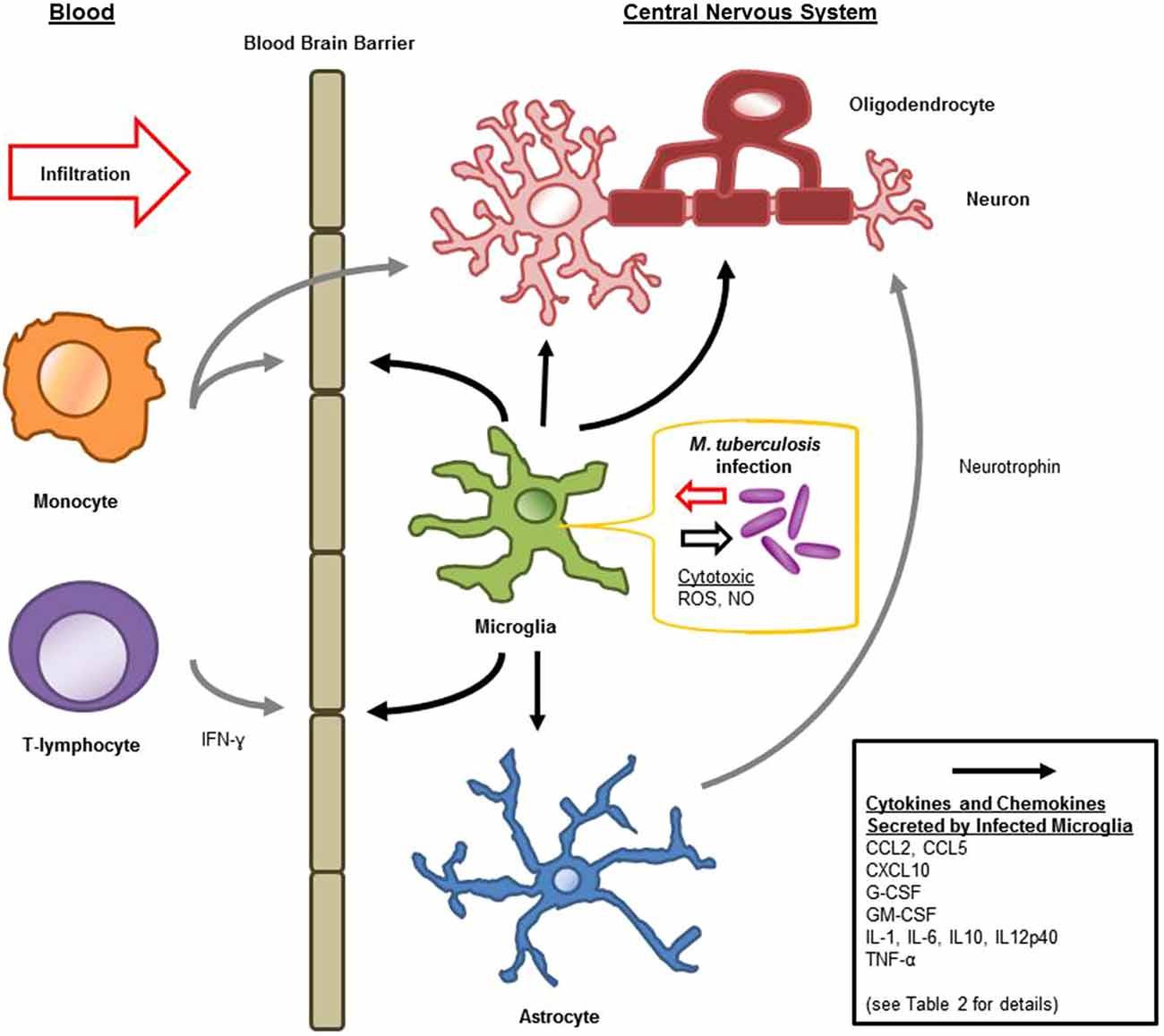 immune system diagram honda cb400 4 wiring response major histocompatibility complex