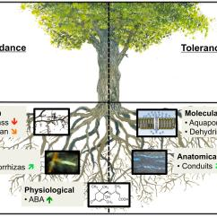 Morphology Tree Diagram Wastewater Treatment Plant Flow Frontiers How Roots Respond To Drought Science