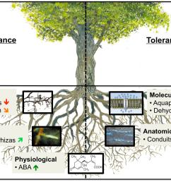 frontiers how tree roots respond to drought plant science fig tree root diagram oak tree root diagram [ 3000 x 2301 Pixel ]