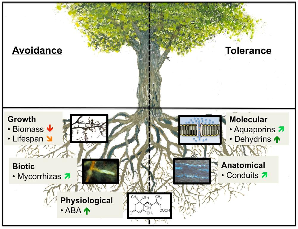 medium resolution of frontiers how tree roots respond to drought plant science fig tree root diagram oak tree root diagram