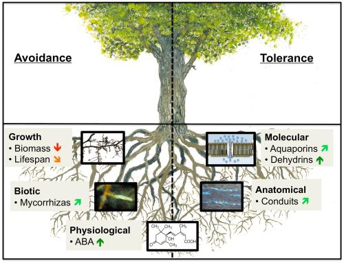 small resolution of frontiers how tree roots respond to drought plant science fig tree root diagram oak tree root diagram