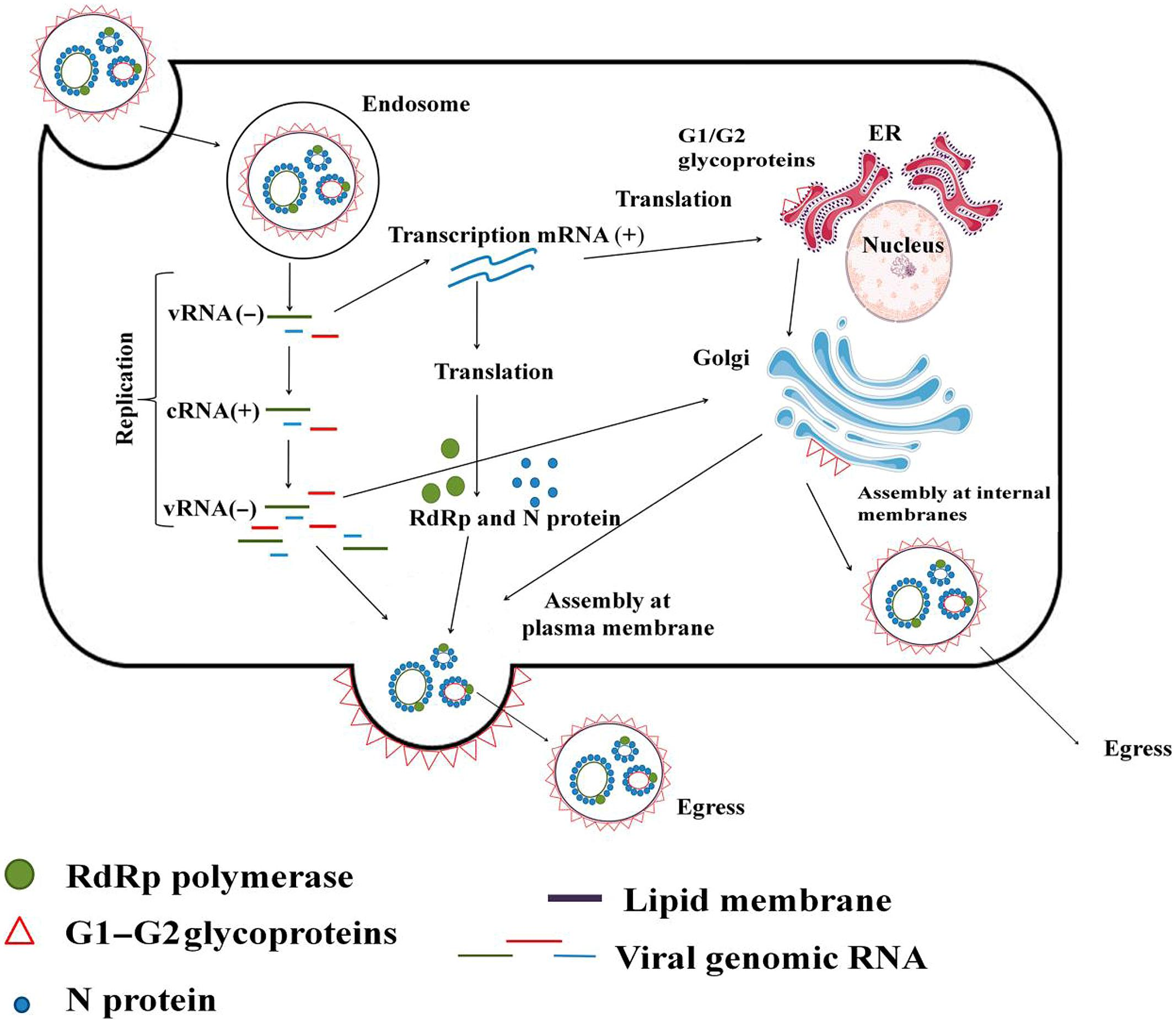 Frontiers   Hantaviral Proteins: Structure, Functions, and Role in ...