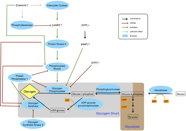 Frontiers   Brain glycogen—new perspectives on its ...