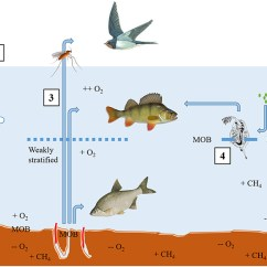 How To Create A Food Web Diagram Weathertron Thermostat Wiring Frontiers   The Incredible Lightness Of Being Methane-fuelled: Stable Isotopes Reveal ...
